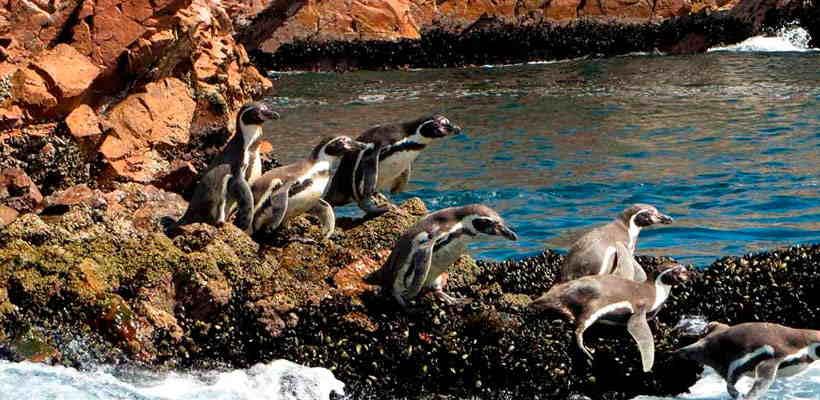 Conoce los pinguinos de humboldt