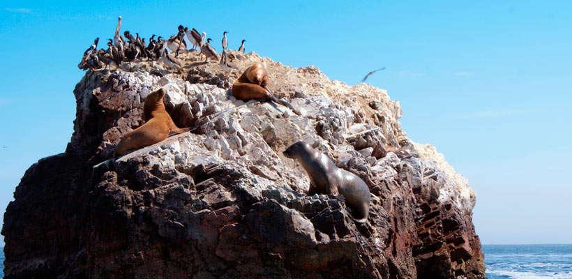Tome fotografías de las aves guaneras y lobos marinos en viajes a paracas por lima tour